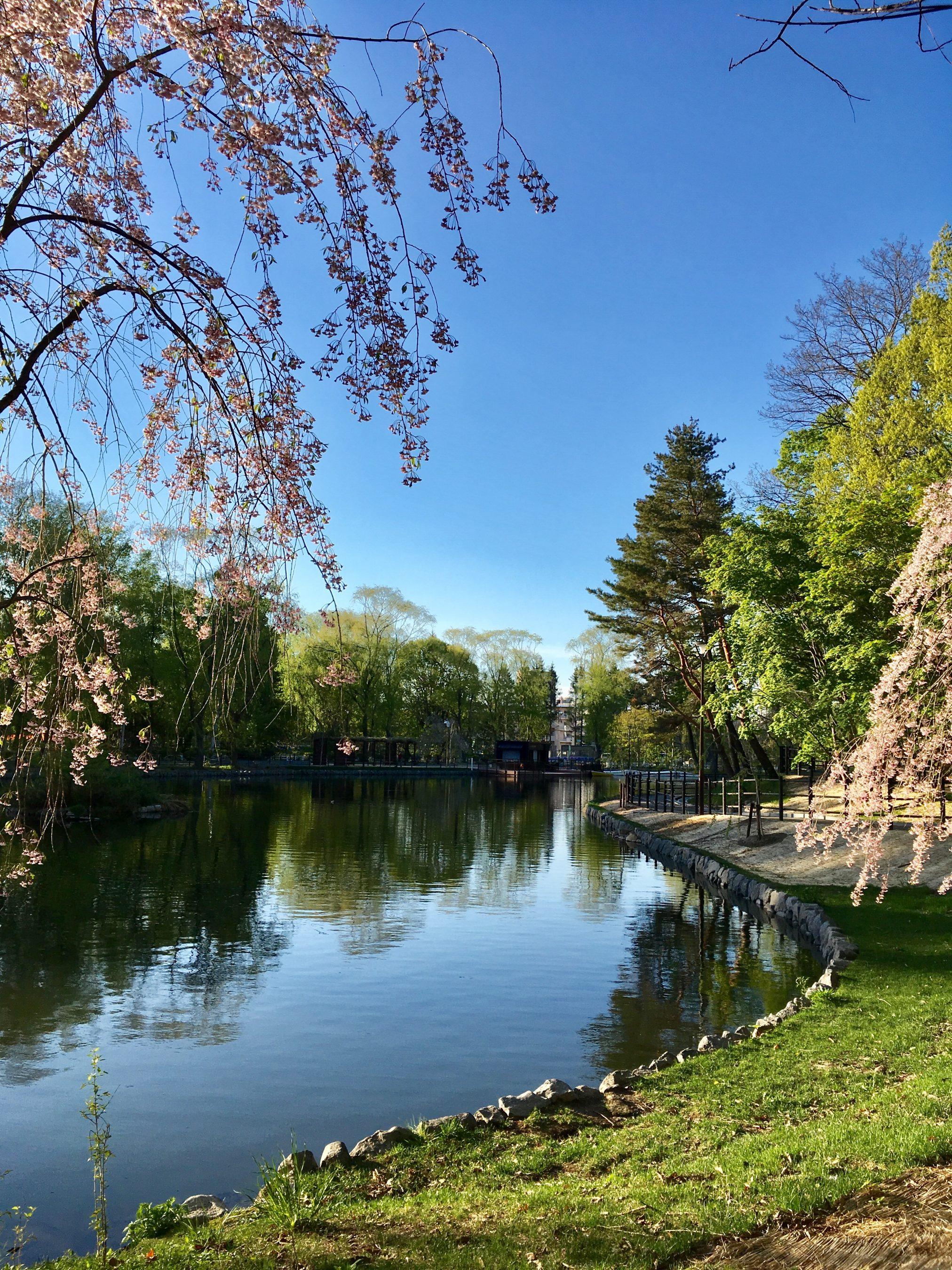 最新情報!月寒公園の桜の開花時期まとめ 二度開花する桜とは!?